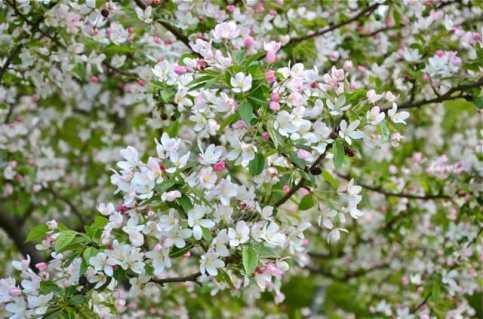 bob-white-crabapple-bloom-2