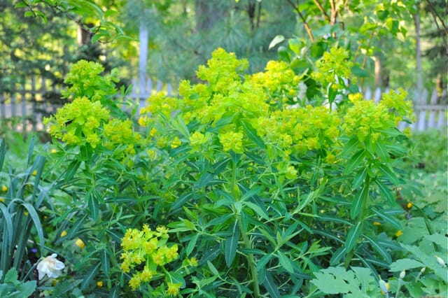 euphorbia-palustris