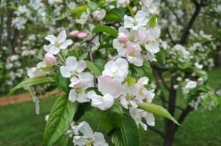 ralph-shay-crabapple-flowers
