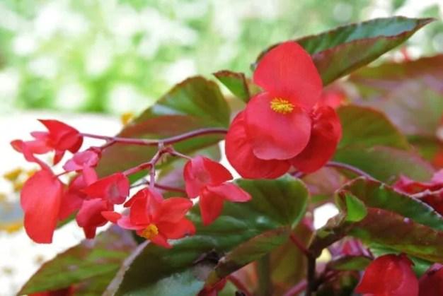 dragon-wing-red-begonia