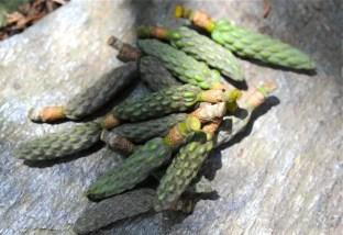 magnolia-pods-1