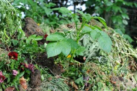 potatoes-in-compost-heap