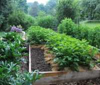 growing potatoes organically: when and how to plant, hill and harvest