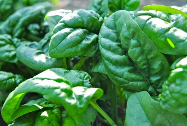 Why I Plant Spinach Late And Other Tasty Tidbits A Way