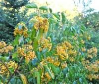 great shrub: a showoff viburnum, 'michael dodge'