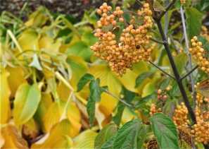 hostas-and-gold-fruit