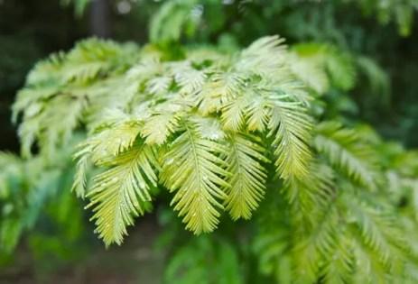 metasequoia-gold-rush