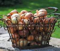 grow onions from seed, with seed breeder don tipping of siskiyou seeds