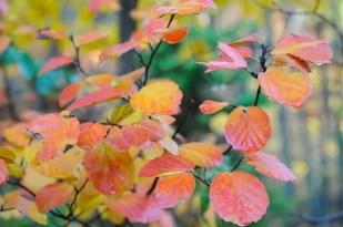 fothergilla-leaves-fall