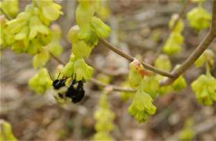 best-bloom-on-corylopsis