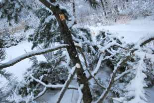 felled-pinus-bungeana