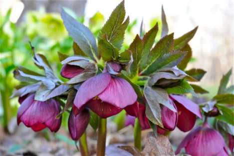 hellebores-late-march