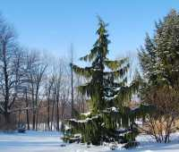 botanical blessings: conifers for the coldest days