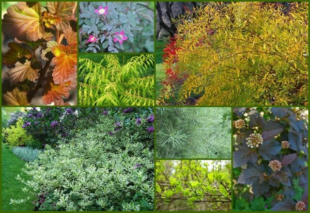 colorful leaved shrubs