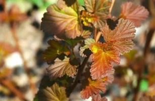 coppertina-physocarpus