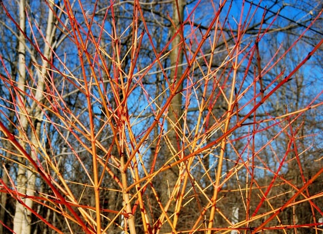 coral-cornus-winter-flame