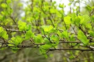 darts-gold-physocarpus