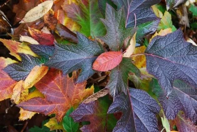 oakleaf-hydrangea-quercifolia