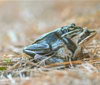 frog porn: the calls (and caresses) of the wild