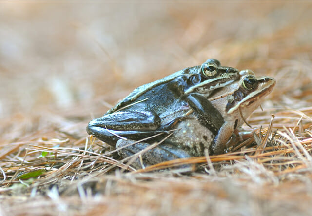 Female Frog Porn - wood frog porn LOVE IS IN THE AIR, BABY. FROG LOVE. My backyard is alive  with the sounds, and sights, of the start of mating season, with a pair of  wood ...