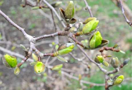 yellow-magnolia-budding