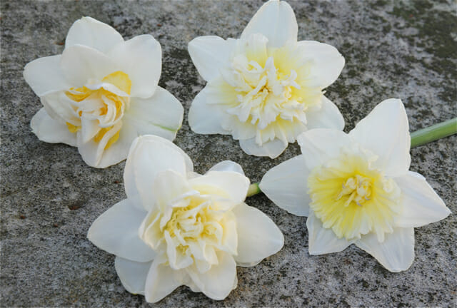 fragrant white narcissus