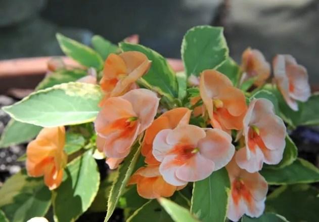 fusion-peach-frost-impatiens