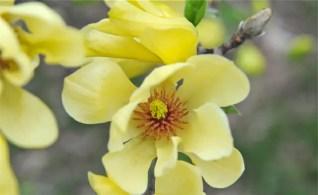 magnolia-elizabeth