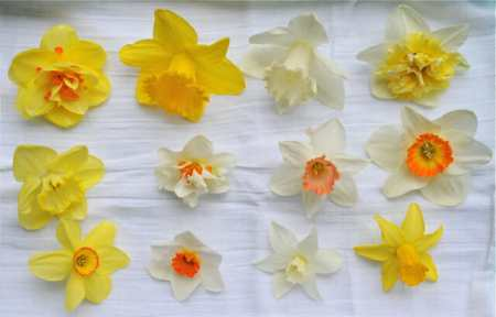 photo gallery of narcissus varieties