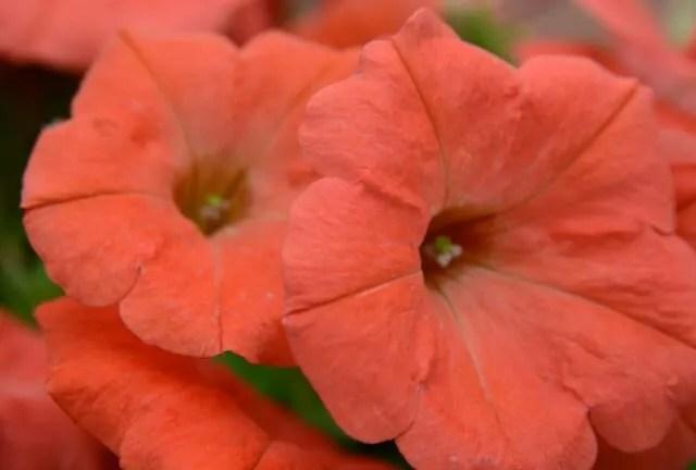 papaya petunia