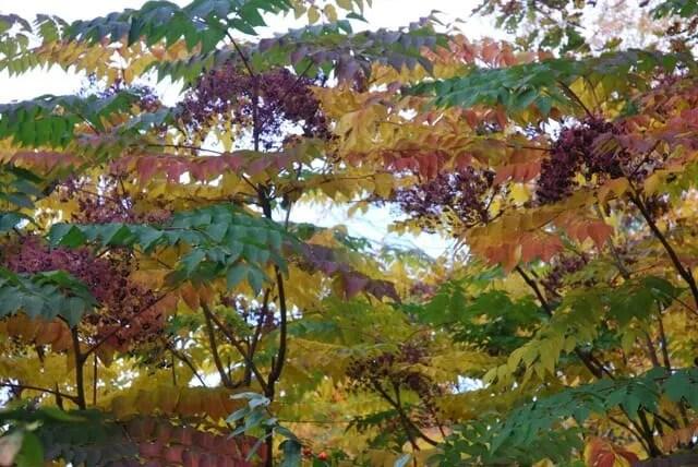 aralia-spinosa-fruit-and-foliage