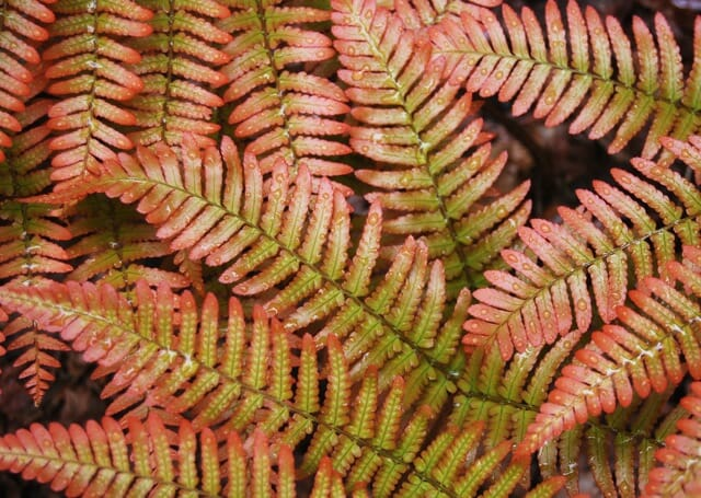 autumn-fern-detail-june