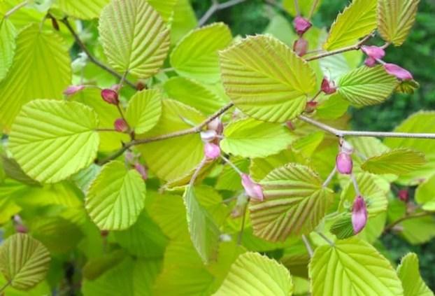corylopsis-spicata-aurea