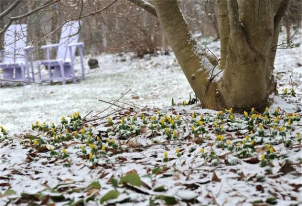 eranthis-light-snow