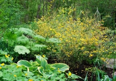 kerria-japonica-picta
