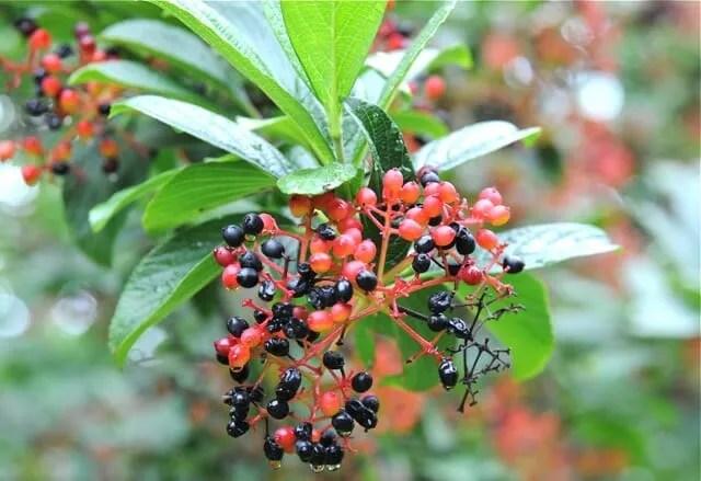 viburnum sieboldii fruit detail