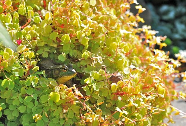 frog hidden in oxalis pot