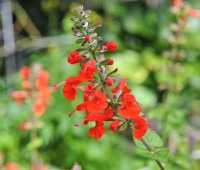 3 favorite salvias, all of them (screaming) red