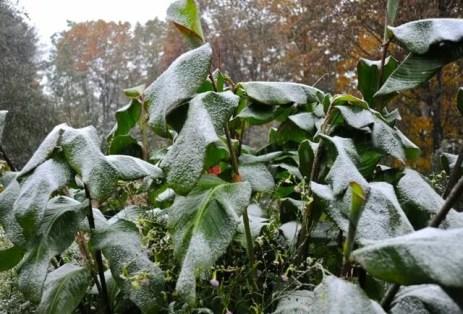 cannas-with-snow