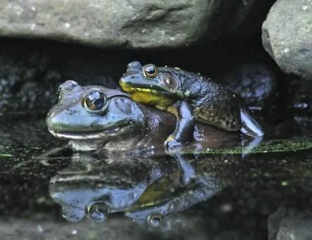 frog-piggyback