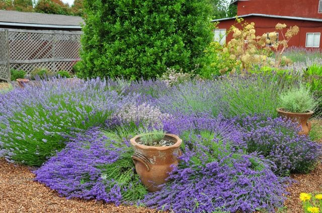 lavenders at nichols nursery
