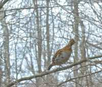no partridge in pear; will grouse in magnolia do?