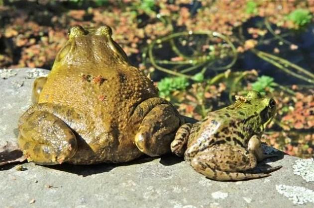 bullfrog-and-green-frog