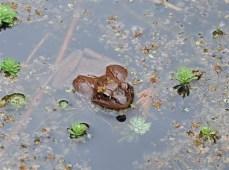 female-wood-frog-full-of-eggs