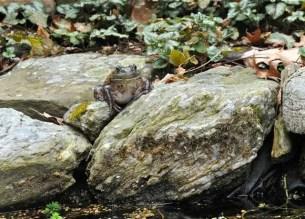 freckled-female-bullfrog