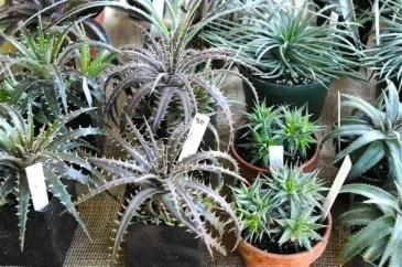 spiny-bromeliads-incl