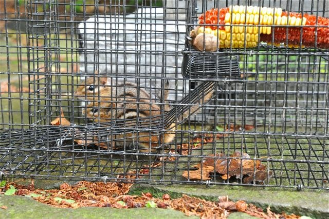 2 chipmunks in one trap