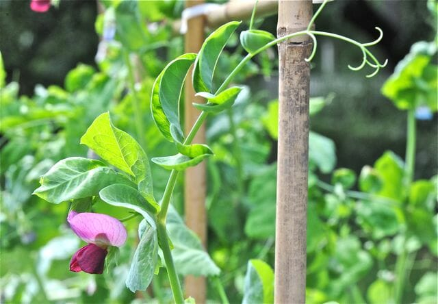 Flower of 'Schweizer Riesen' peas.