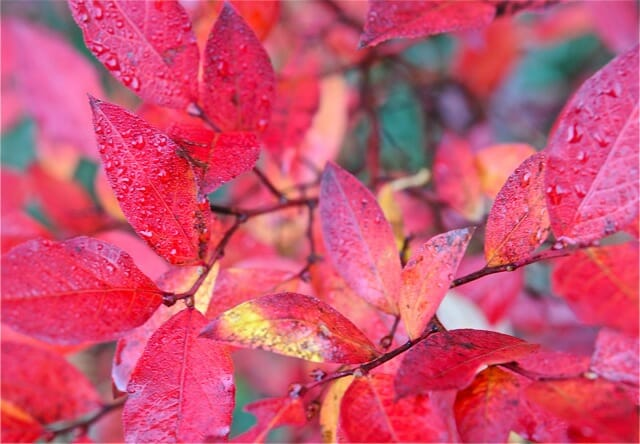 lowbush blueberry fall foliage