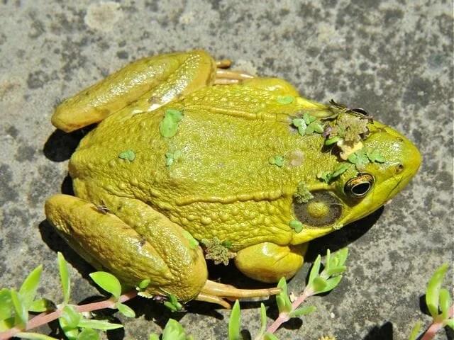 Frog sex galleries links free